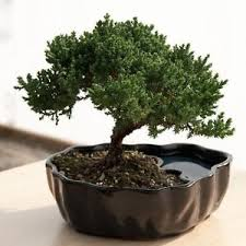 3 year real live juniper bonsai tree w easy branches in