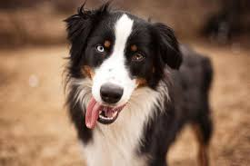 australian shepherd black australian shepherd dog breed information