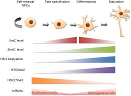 frontiers epigenetic regulation of the neural transcriptome and