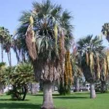 introduction to cold hardy palms dave s garden