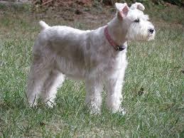 growing puppies virginia schnoodle breeder hypoallergenic dogs