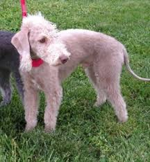 bedlington terrier stud bedlington terrier breed information history health pictures