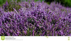 Shrubs Of Small Purple Flowers Stock Photo Image 70362955