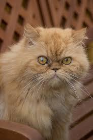 studio persiani gatto persiano rosso tutte le caratteristiche dogalize