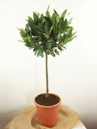topiary hire plants for hire for weddings u0026 events top topiary