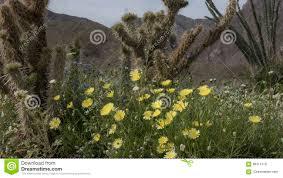 wild flowers anza borrego desert state park california stock photo