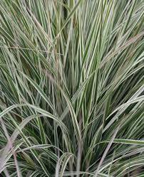 ornamental grasses for sun sunnyside nursery