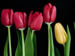 wallpaper bunga tulip bunga gambar wallpaper tulip batang vektor hitam foto latar