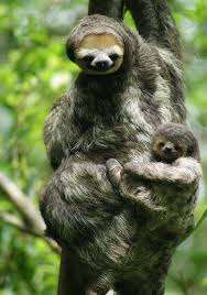 4 toed sloth species profile brown throated three toed sloth bradypus
