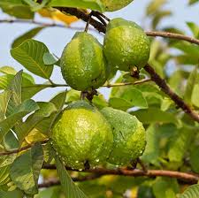 ruby supreme guava tree for sale fast growing trees