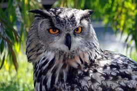 eurasian eagle owl wikiwand