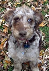 australian shepherd and poodle aussiedoodle puppies breeders aussiedoodles