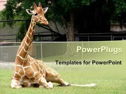 powerpoint template giraffe relaxing in front of tree at zoo 1832