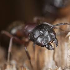 how to get rid of carpenter ants planet natural