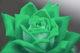 green roses gorgeous roses the meaning of colors 35 pics