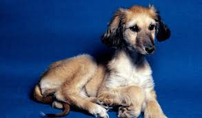 afghan hound breeders europe afghan hound breed information