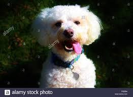 bichon frise 4 months old dog bichon frise stock photos u0026 dog bichon frise stock images alamy