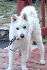 american eskimo dog energy level tenzin american eskimo dog