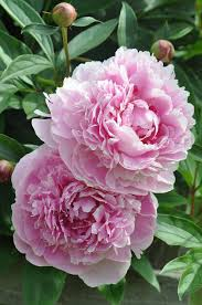 Peony Flowers by 517 Best Peonies U0026 Lilacs Images On Pinterest Flowers Beautiful