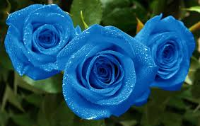 Blue Roses For Sale Real Blue Rose Bush Urldircom