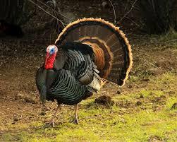 best 25 turkey facts ideas on turkey