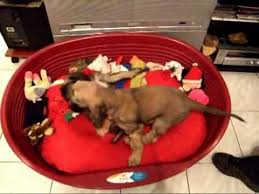 afghan hound giving birth introduction of the afghan hound puppies youtube