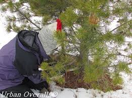 Cutting Christmas Tree - 7 reasons why christmas tree cutting can benefit a forest u2022 urban