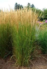 calamagrostis karl foerster grass ornamental feather reed karl