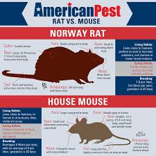 Are Mice Blind I Have A Rodent In My House Is It A Mouse Or A Rat