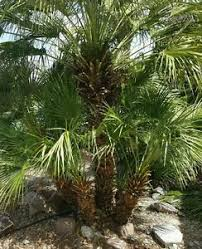 mediterranean fan palm tree mediterranean fan palm tree 12 seeds 011 ebay