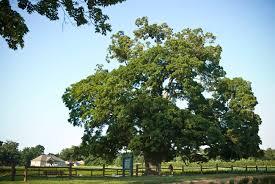 new use found for sugar maple tree growing in niagara region