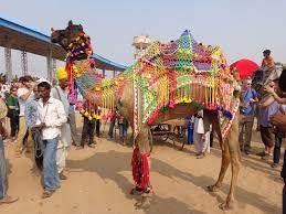 thousands of camels at pushkar camel fair