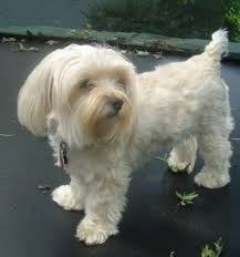affenpinscher maltese mix yorktese dog breed information and pictures