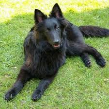 belgian sheepdog laekenois belgian shepherd dog breed information and pictures