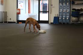 j bar w australian shepherd ball obsessed agility league champion zoom room dog training