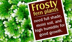 How To Revive A Plant The Gardening Secret Of How To Care For A Frosty Fern Plant Revealed