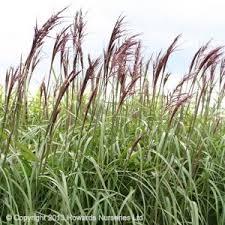 15 best buy ornamental grasses images on ornamental