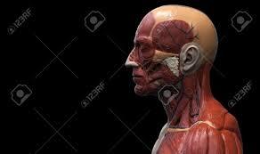 3d Head Anatomy Head And Torso Anatomy Human Head And Shoulder Muscular Anatomy