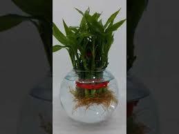 Betta Fish Vase With Bamboo My Beta Fish Aquarium With Bamboo Plant Youtube