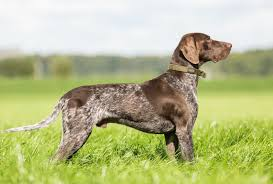 belgian shepherd gumtree german shorthaired pointer dogs and puppies for sale in the uk