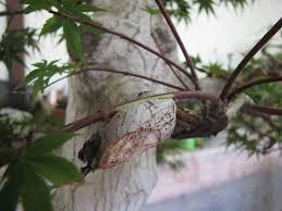 scion plant approach grafting peter tea bonsai