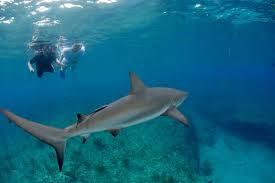 bimini sharklab shark research u0026 marine biology internships