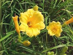 stella d oro daylily bright as yellow growing stella d oro daylillies from seed
