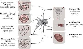 schematic overview of diffe silk types produced by female orb weaving spiders araneae