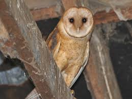 Scientific Name Of Barn Owl Barn Owl Identification All About Birds Cornell Lab Of Ornithology