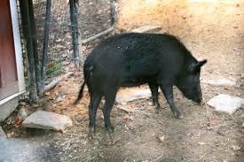 ossabaw island hog wikipedia