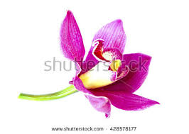 Flower Orchid Beautiful Flower Orchid Close Isolated On Stock Photo 425239681