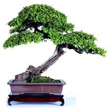 of china tree shanghai bonsai treasures