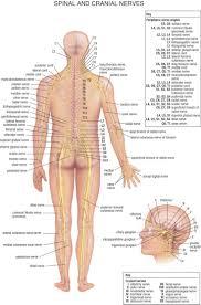 best 25 nervous system ideas on pinterest nerve cell function