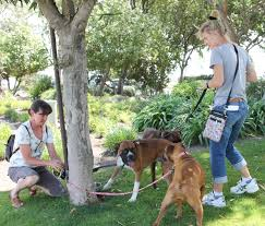 100 boxer dog volunteer west coast boxer rescue